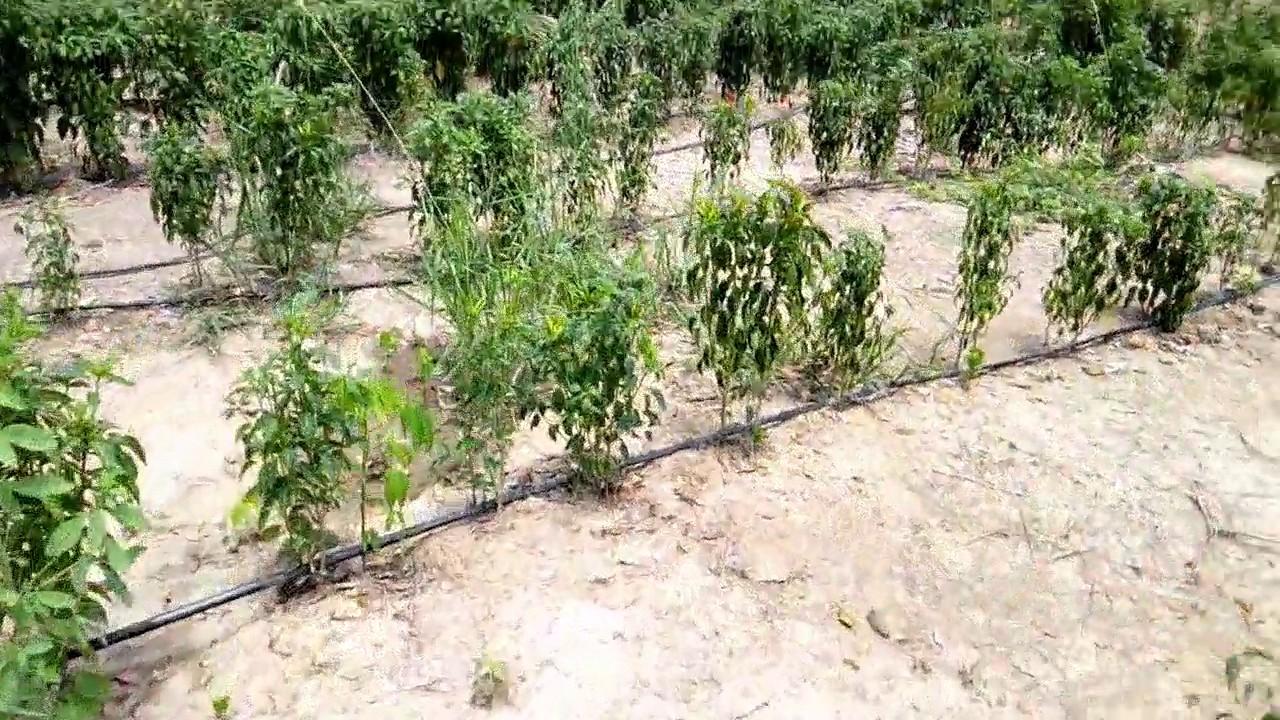 Génie Agricole côte d'Ivoire irrigation piments