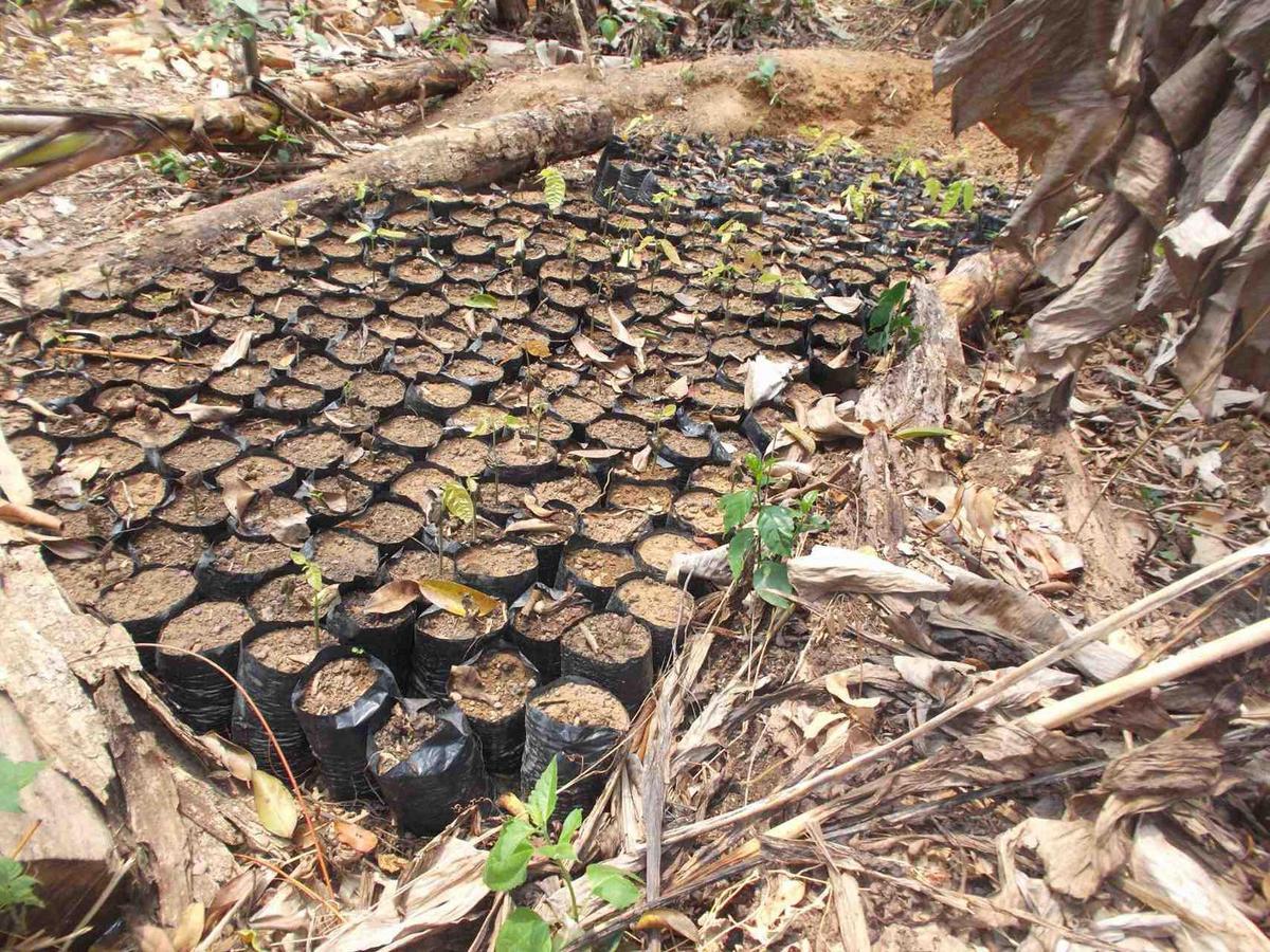 pepiniere de cacao mercedes