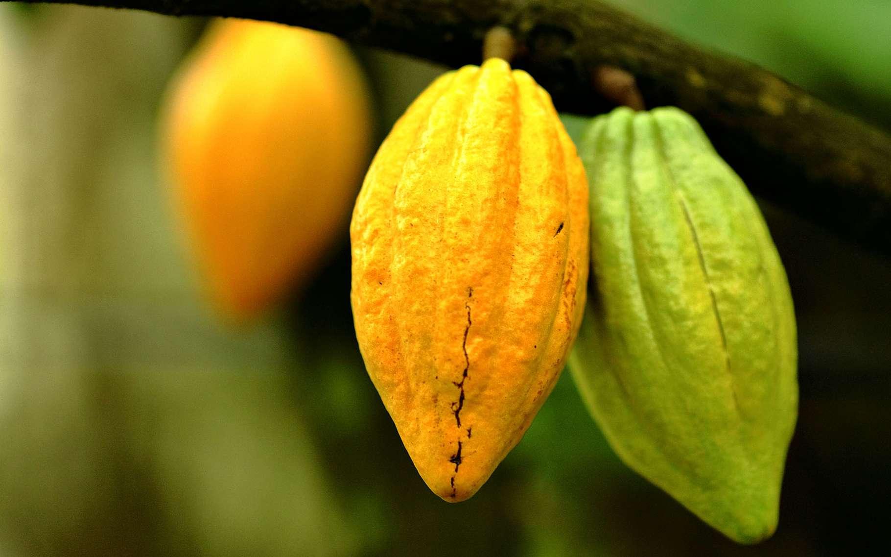 Cacao : génétique, culture, récolte   Dossier